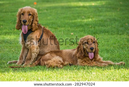 A male an female pair of Golden Cocker Spaniel in local park, Liverpool, UK