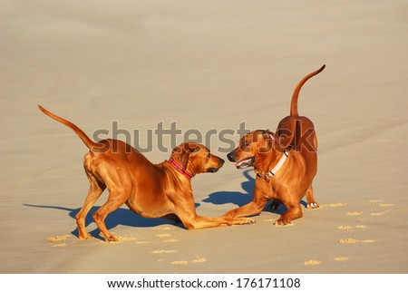 A male and a female purebred Rhodesian Ridgeback dogs playing together on the beach in summertime. - stock photo