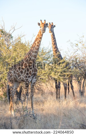 A male and female giraffe posed by a thorn tree