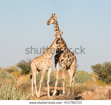 A male and female Giraffe standing together in Southern African savannah