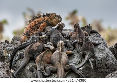 A male  and females of Galapagos Marine Iguana resting on lava rocks (Amblyrhynchus cristatus). The marine iguana on the black stiffened lava.  Galapagos Islands