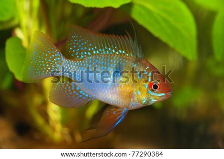 a male apistogramma ramirezi cichlid - stock photo