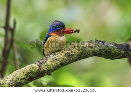 A Male Banded Kingfisher has lizard on his bill.He is feeding his children at Khao Yai National Park ,Nakhonratchasrima Thailand.(Lacedo pulchella)