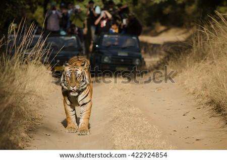 A Male Bengal Tiger marking his territory.Image taken during a safari at Bandhavgarh national park in the state of Madhya Pradesh in India.Scientific name- Panthera Tigris Image Date: 10/01/2016 - stock photo