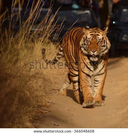 A Male Bengal Tiger walking on a forest path.Image captured during a safari at Bandhavgarh National park in Madhya Pradesh,India Scientific name- Panthera Tigris  - stock photo