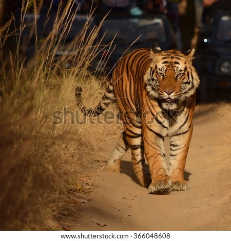 A Male Bengal Tiger walking on a forest path Scientific name- Panthera Tigris  - stock photo