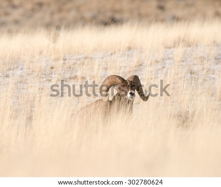 A male big horn sheep peering out from a grass field - stock photo