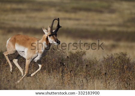 A male (buck) Pronghorn Antelope, Antilocapra americana, the fastest mammal in North America, runs at high speed across the Great Plains - stock photo