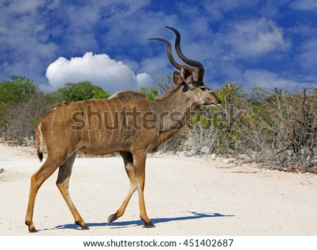 A Male (Bull) Kudu walking across a dry dusty road in Etosha with a natural blue cloudy sky background