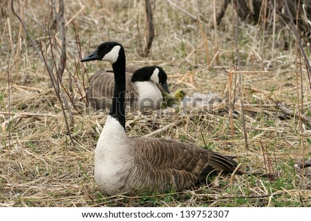 Canada Goose Goslings Stock Photos, Royalty-Free Images & Vectors ...