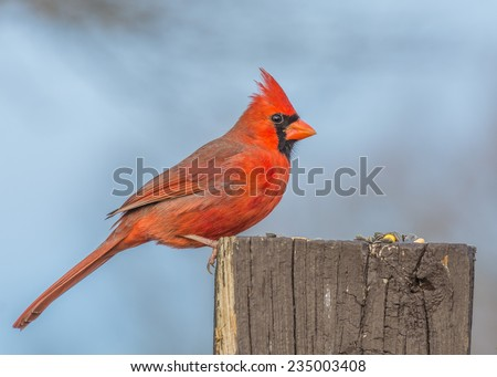 A Male Cardinal perched on a wood post. - stock photo