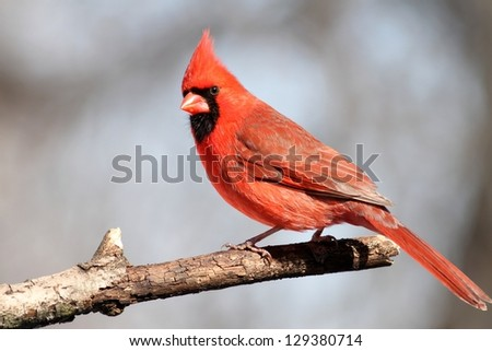 A male Cardinal posing for my after landing on a tree branch near my feeder. - stock photo