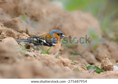 A male Chaffinch (Fringilla coelebs) perched on the ground feeding on seeds, against a blurred natural background, Yorkshire, UK - stock photo