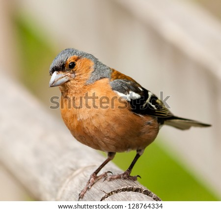 A Male Chaffinch sits on a wooden post - stock photo
