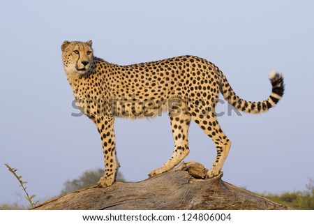 A Male Cheetah (Acinonyx jubatus) stands lookout on top of a dead tree, South Africa - stock photo