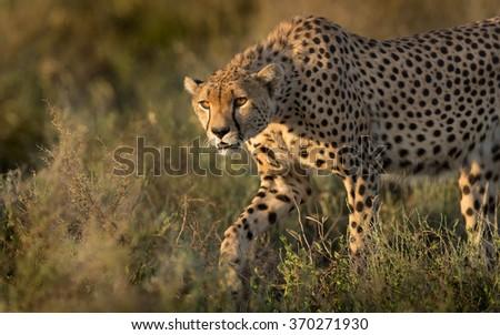 A male Cheetah hunting in the Serengeti, Tanzania - stock photo