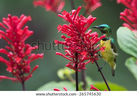 A male Collared sunbird (Hedydipna collaris) perched for nectar drinking