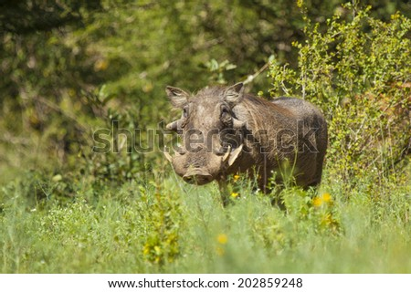 A Male Common Warthog Standing in its Natural Habitat in the South African Bushveld - stock photo
