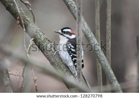 A male Downy Woodpecker perched in some branches - stock photo