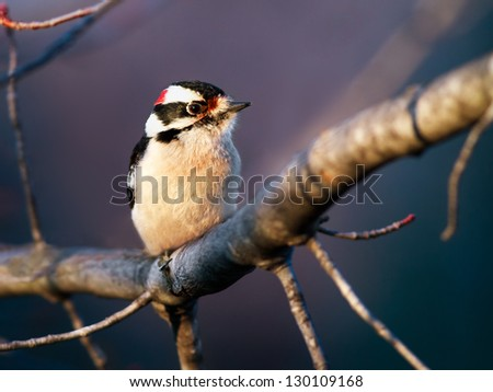 A male downy woodpecker perches on a maple tree limb. - stock photo