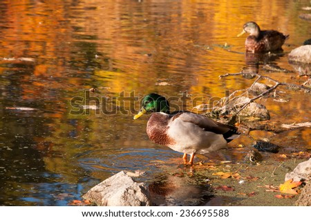 A male duck standing in lake water. - stock photo