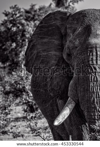 A male elephant in South Africa