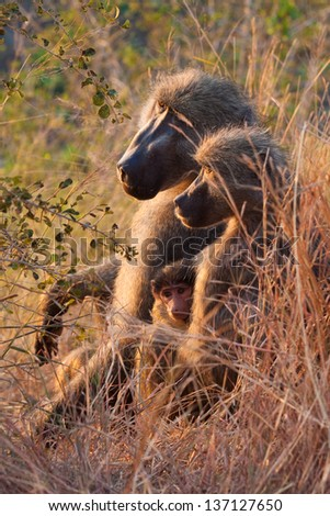 A male, female, and baby baboon sit together at sunset - stock photo