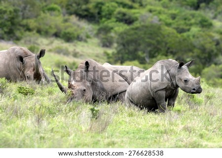 A male , female and calf rhino / rhinoceros have a rest in an open field. South Africa - stock photo