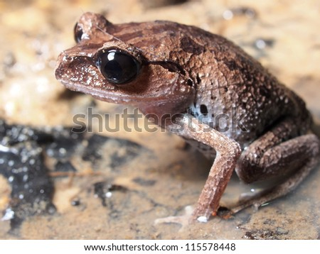 A male frog resting on wet ground