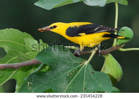 A male golden oriole eating figs on a fig tree - stock photo