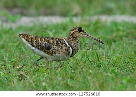A male Greater Painted-snipe in the field.(Rostratula benghalensis)