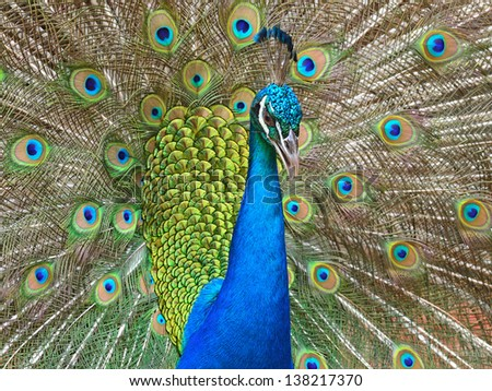 A male Green peacock showing his spreaded tail (Pavo muticus) - stock photo