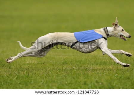 A male greyhound at full speed in the final championship - stock photo