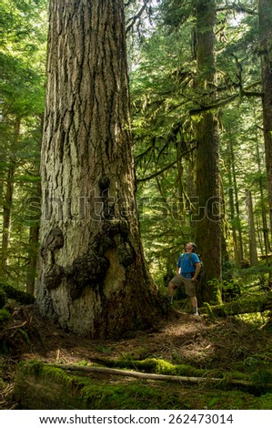 A male hiker looks up at a giant old growth douglas Fir in the Pacific Northwest - stock photo
