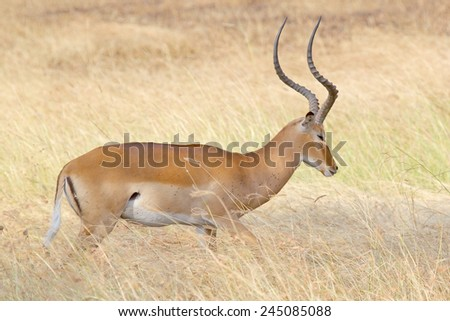 A male impala, Aepyceros melampus, standing in the grass in Serengeti National Park, Tanzania - stock photo