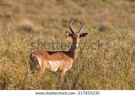 A male Impala (Aepyceros melampus) stood in long grass looking at the camera in a natural setting, South Africa - stock photo