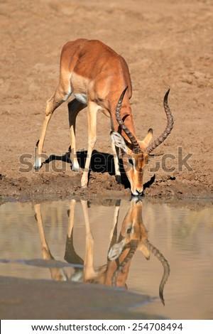 A male impala antelope (Aepyceros melampus) drinking water, Pilanesberg National Park, South Africa - stock photo
