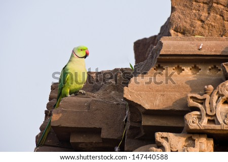 A Male Indian Ringneck Parakeet or Indian Ringneck Parrot or Rose-Ringed Parrot , Jaipur - Rajasthan India. - stock photo