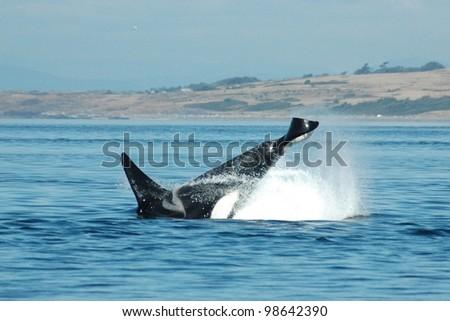 A male killer whale cartwheels off of San Juan Island, Washington. - stock photo