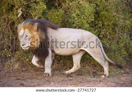 A Male Lion approaches out of the bush - stock photo