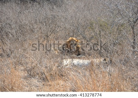 A male lion at the Hluhluwe and Imfolozi game park near St Lucia, South Africa