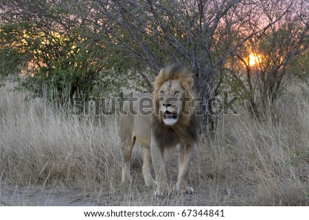 A male lion during sunset in the Masai Mara in Kenya. - stock photo