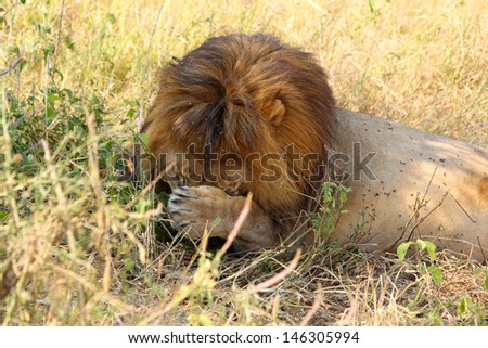 A male lion (Panthera Leo) covering his face to remove flies - stock photo