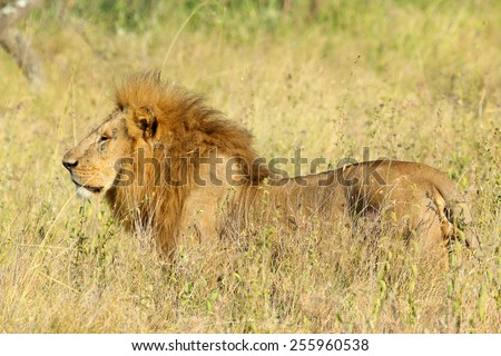 A male lion, Panthera Leo, standing in the savannah in Serengeti National Park, Tanzania - stock photo