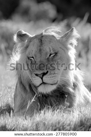 A male lion portrait. Golden sunlight ignite his intense eyes. South Africa - stock photo