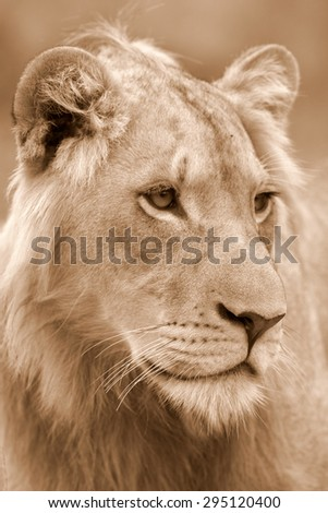 A male lion portrait. Golden sunlight ignite his intense eyes. South Africa. focus on nose - stock photo