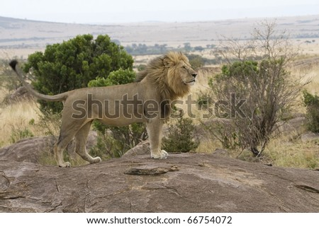 A male lion returns to the pride after days of being away. - stock photo