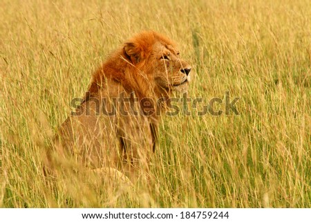 A male lion sits in the savannah surveying his surroundings. - stock photo