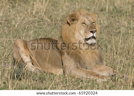A male lion sits on the plains of the Masai Mara in Kenya.