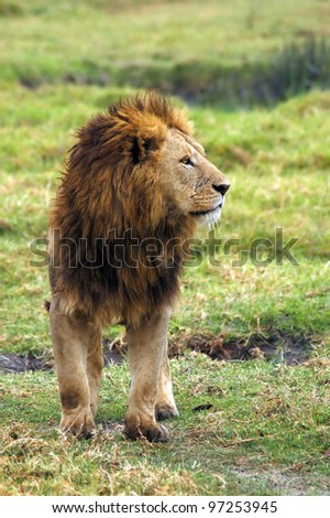 A male lion standing and looking to the right